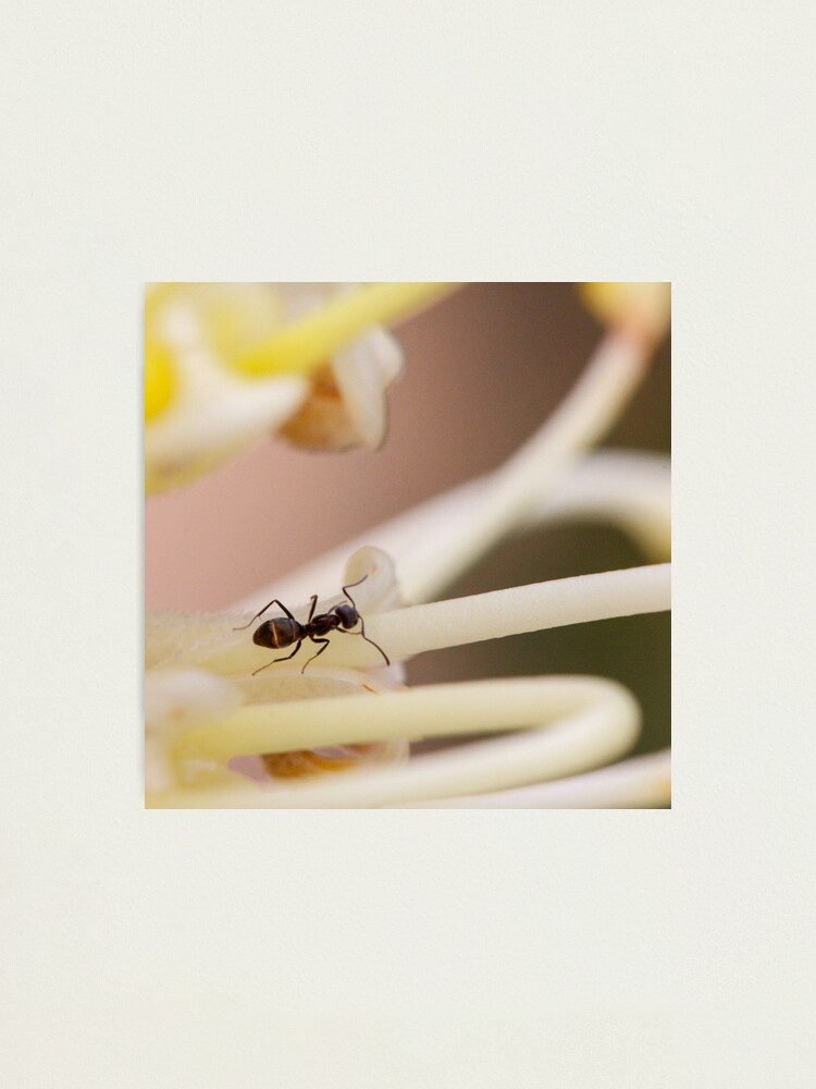 Alternate view of Ants love nectar too Photographic Print