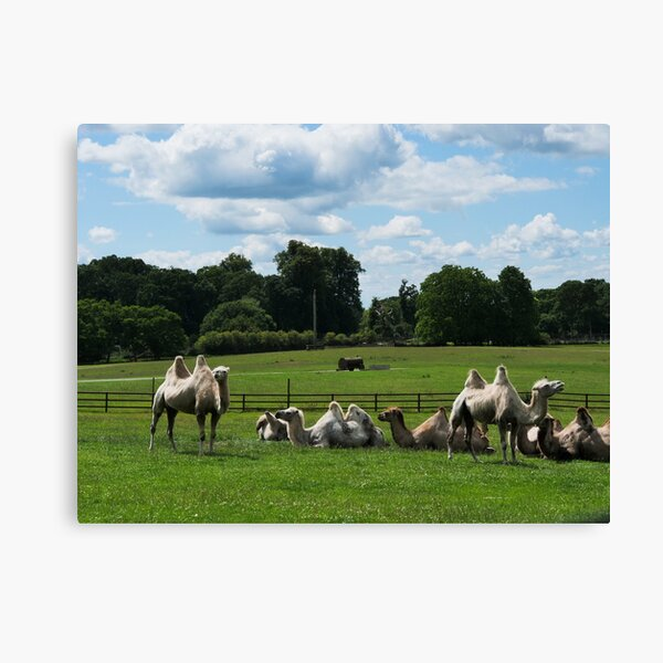 Double humped camels Canvas Print