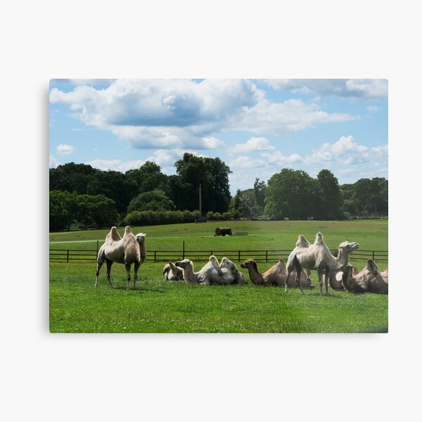 Double humped camels Metal Print