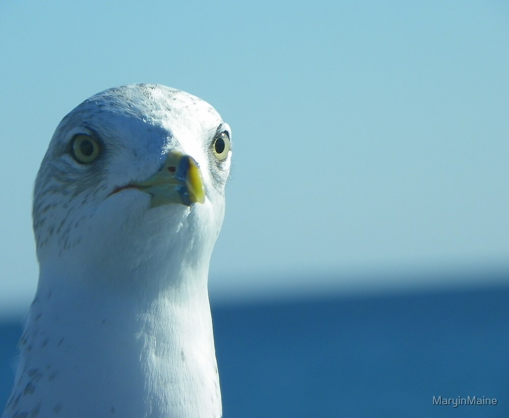 Seagull Stare by MaryinMaine