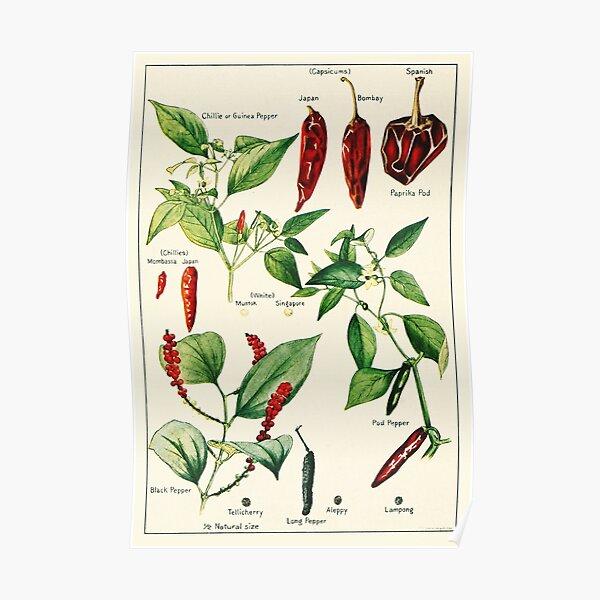 Capsicum chillies pepper - Vintage botanical illustration Poster