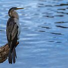 Darter by Vince Russell