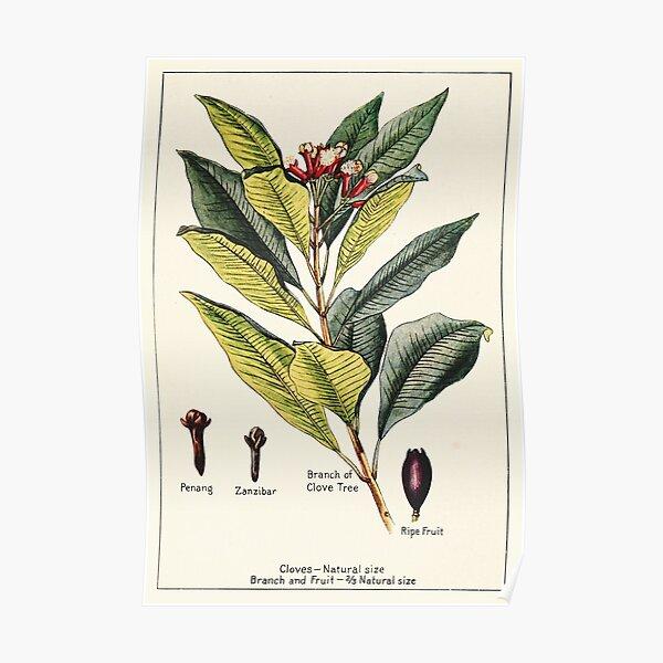 Cloves penang zanzibar - Vintage botanical illustration Poster