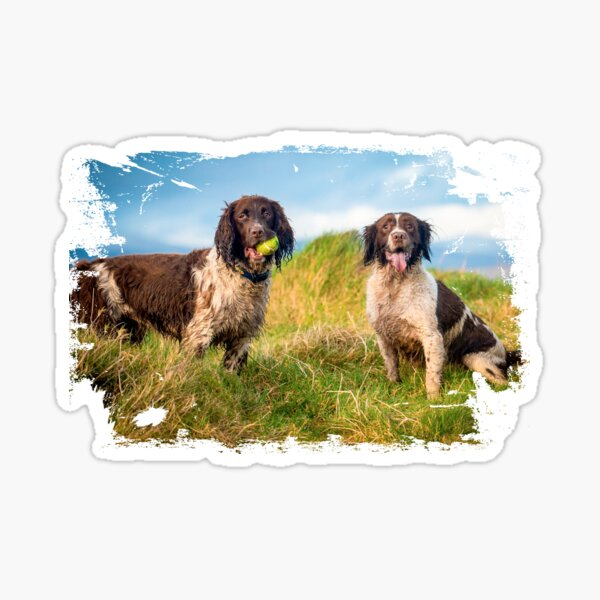 Two English Springer spaniels in the country Sticker
