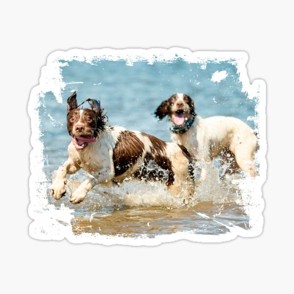 Two very happy English Springer Spaniels Sticker