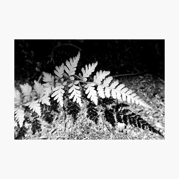 Shadow Fern Photographic Print
