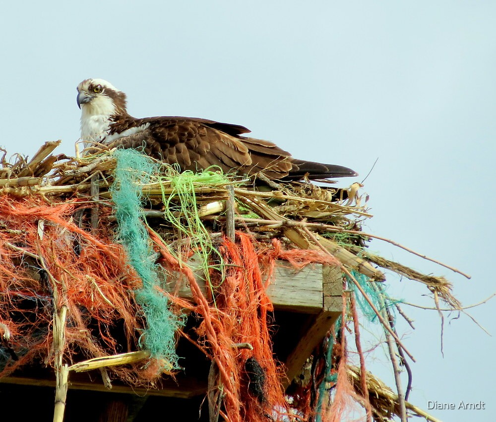 Osprey And Colorful Nest by Diane Arndt