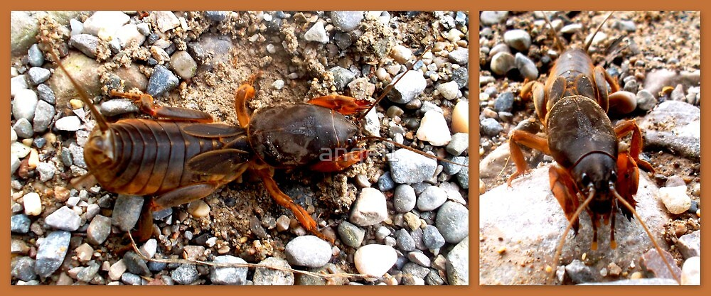 Mole cricket by ©The Creative  Minds
