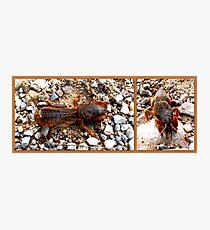Mole cricket Photographic Print