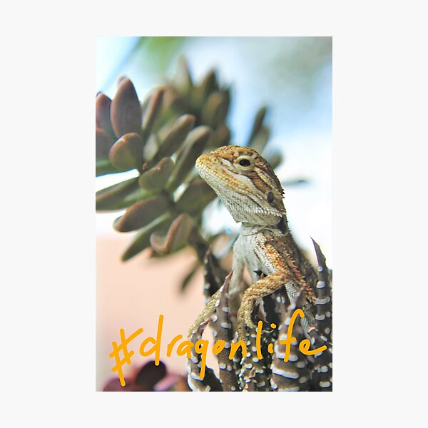 #Dragonlife baby bearded dragon Photographic Print