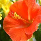 Orange hibiscus by freshairbaloon