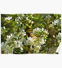 Cedar Waxwing enjoying the Spring Blossoms Poster
