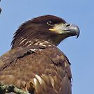 Juvenile American Bald Eagle  by lorilee