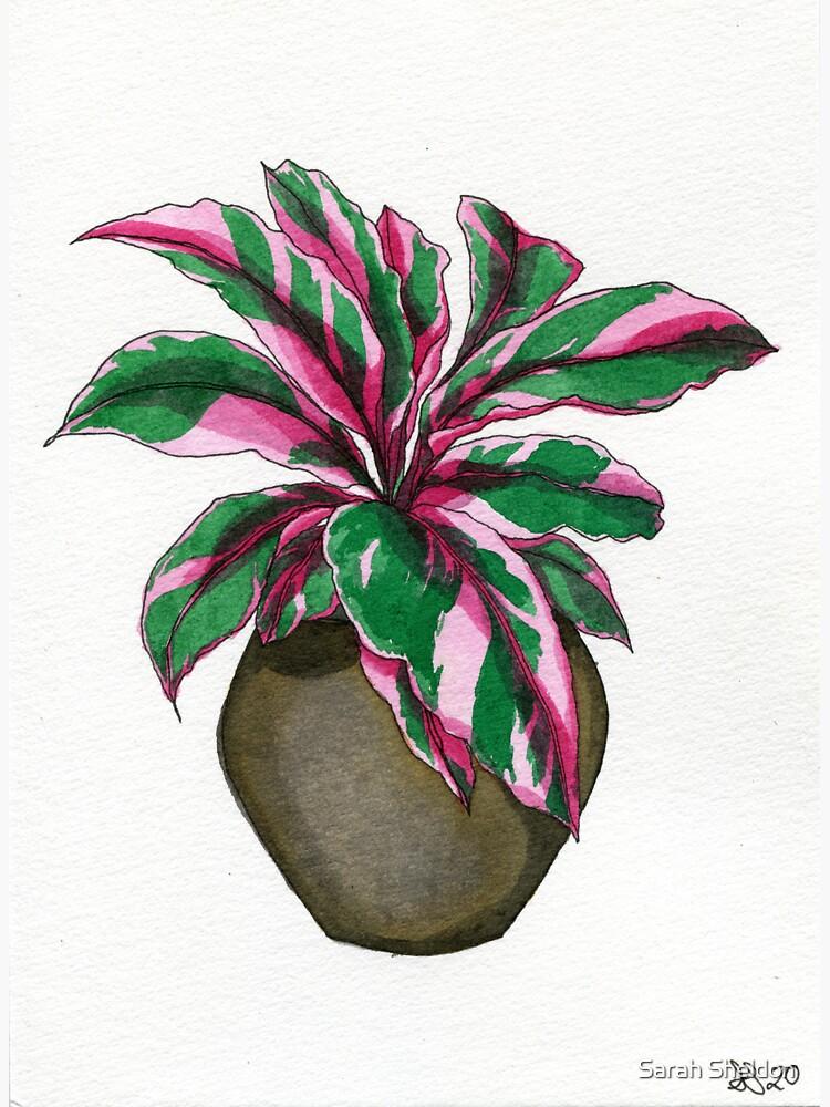 Pink Calathea by avibrantnest