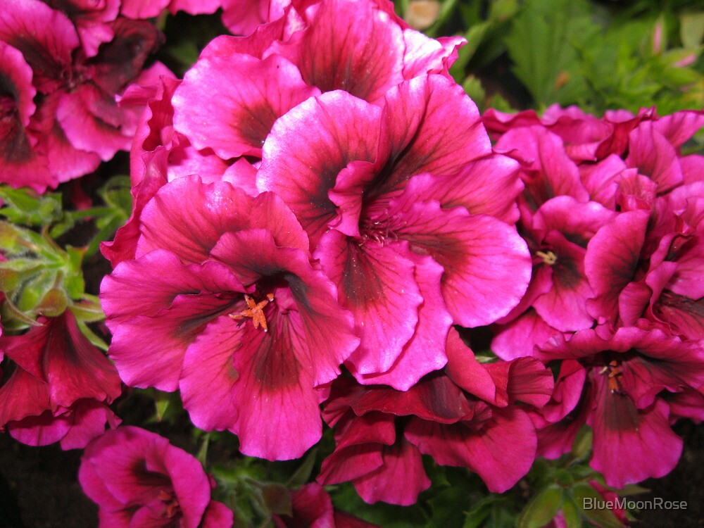 Deep Pink Geraniums by BlueMoonRose