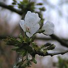 Apple Blossom by David Workman