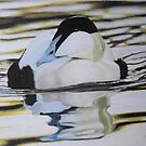 Eider Duck by Mike O'Connell