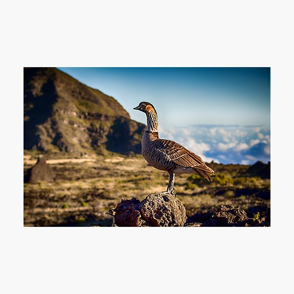 Hawaiian Nene Goose Photographic Print