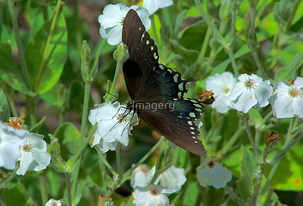 Pocono Butterfly by Imagery