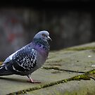 pigeon by gary roberts