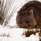 Snowy Wombat by Jenni Tanner