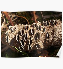 Banksia Cone Poster