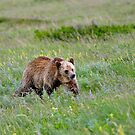 Grizzly searching by Luann wilslef