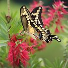 Giant Swallowtail by Bob Hardy