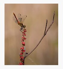 Four Spotted Chaser Photographic Print