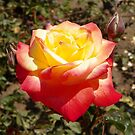 The Beauty of a Rose by mussermd