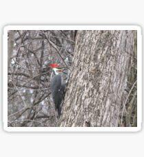 Piliated Woodpecker Sticker