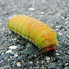 Luna Moth Caterpillar by Sharon Woerner
