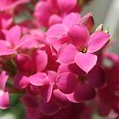 Pink kalanchoe  by freshairbaloon