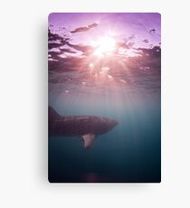 Ningaloo whale shark sunset Canvas Print