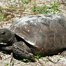 Gopher tortoise by Mike Shell