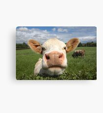 Funny cow looking over hedge Canvas Print