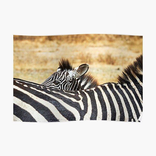 Zebra Peek-a-Boo Poster