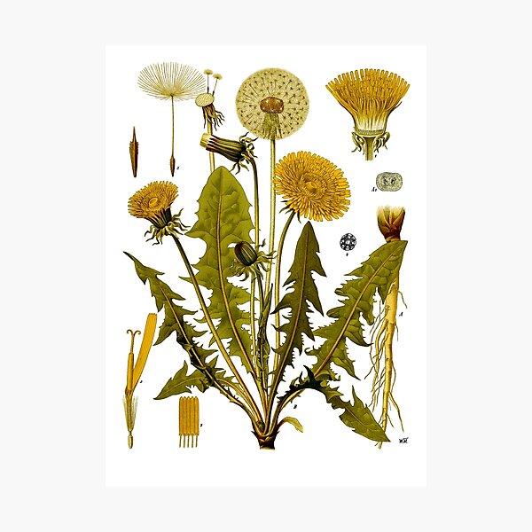 Dandelion - Taraxacum officinale Photographic Print