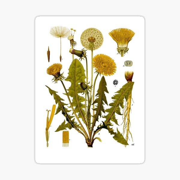 Dandelion - Taraxacum officinale Sticker