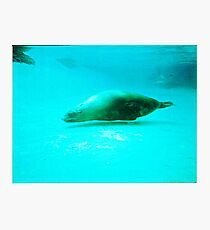 Seal -  Aquarium - Melbourne, Vic Photographic Print