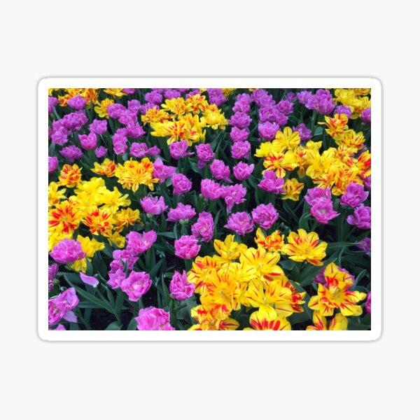 Purple and Yellow Tulips Sticker