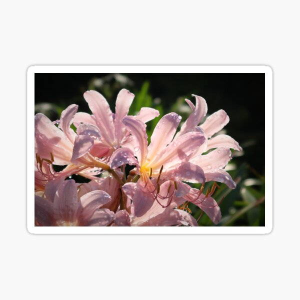 Pink Lilies with Sparkly Dew  Sticker
