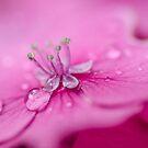 Pink Hydrangea by Martina Fagan