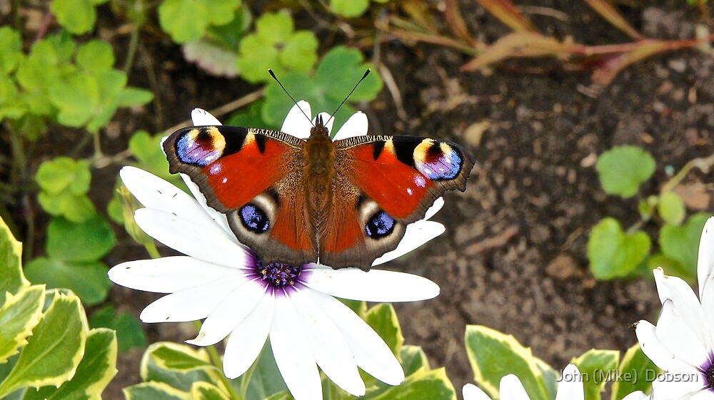 A Peacock Butterfly by John (Mike)  Dobson