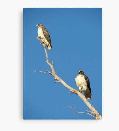 Red-tailed Hawks ~ Breeding Pair  Canvas Print