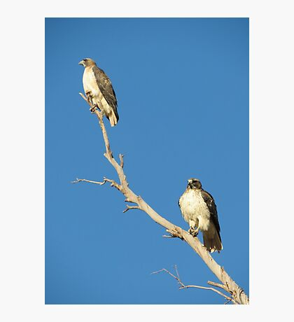 Red-tailed Hawks ~ Breeding Pair  Photographic Print