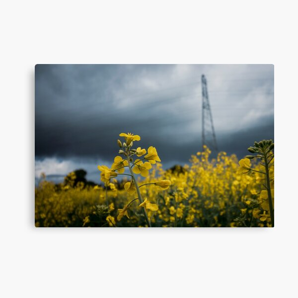 Rapeseed Days 3 Canvas Print