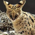 Serval  by Louise Delahunty