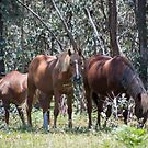 Brumby Mares by Laura Sykes