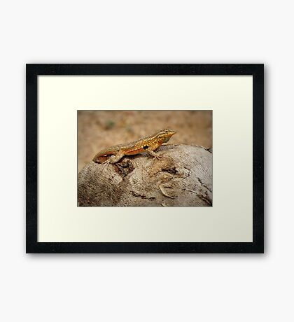 Common Side-blotched Lizard (Male) Framed Print